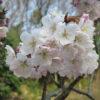 伊予天徳寺の十六日桜